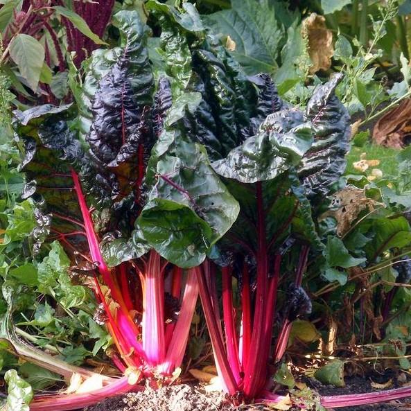 Rhubarb herb