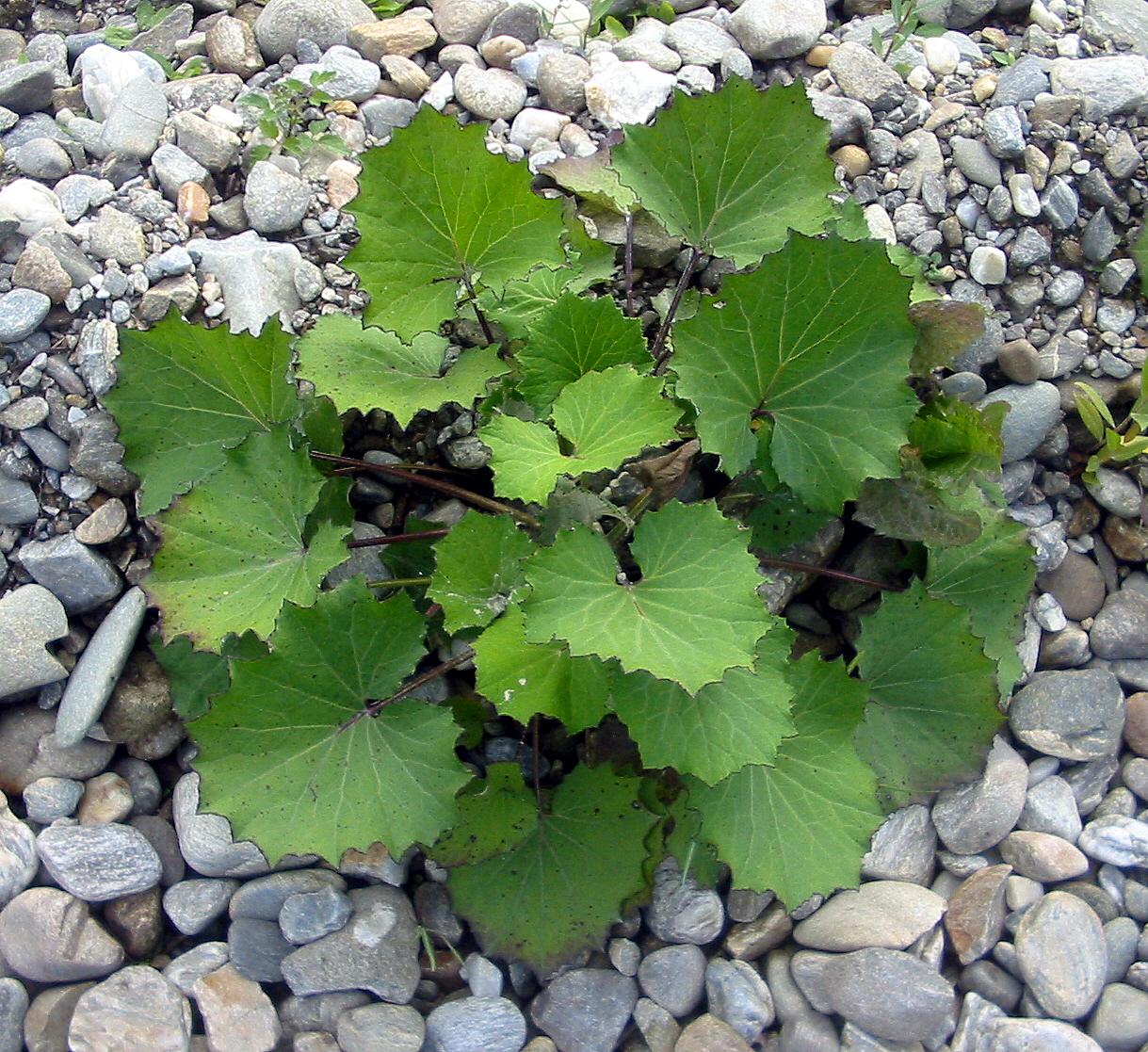 coltsfoot-leaf