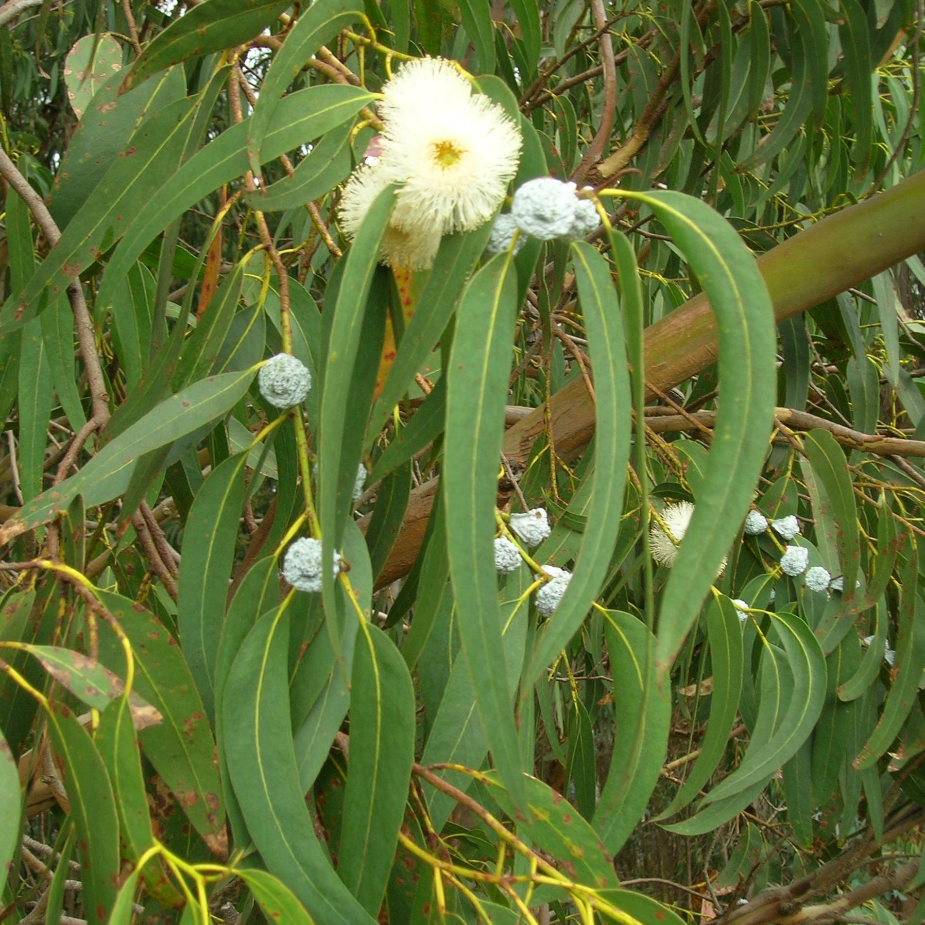 eucalyptus-leaf-flakes