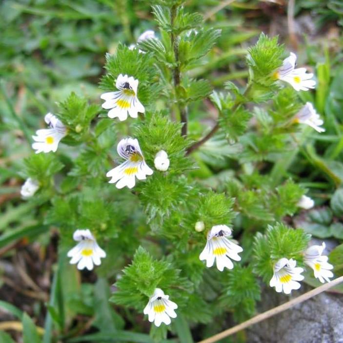 eyebright-herb