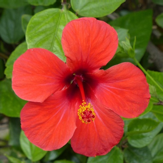 Hibiscus Flowers Whole Bulkherbsandspicecom