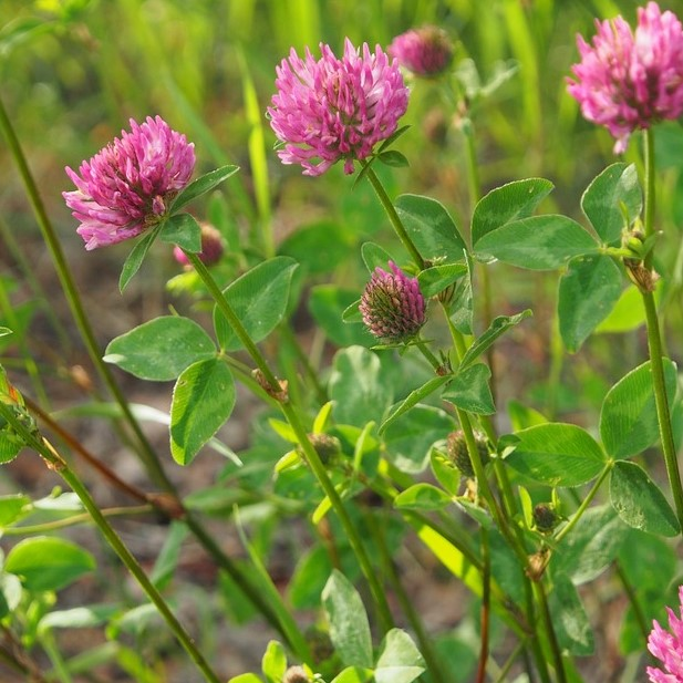 red-clover-blossoms